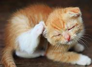 中華田園貓打瞌睡圖片大全