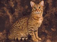 文靜優雅的埃及貓圖片