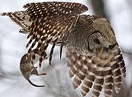 摄影师抓拍猫头鹰 雪中捕鼠全程精彩画面