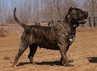 虎斑加納利犬率性霸氣圖片