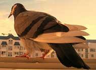 機靈的和平鴿桌面高清壁紙