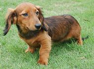 小巧可爱的长毛腊肠犬图片
