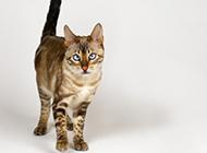 埃及貓圖片神態呆愣搞笑