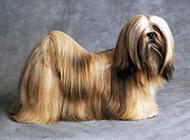 长毛拉萨犬优雅写真图片精选