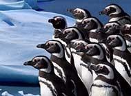呆头呆脑的胖胖企鹅可爱高清图集