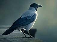 一只烏鴉特寫高清晰桌面壁紙