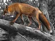 身手敏捷的狐狸高清图片欣赏