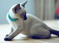 泰國貓暹羅貓機智靈活圖片