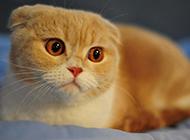 漂亮的成年折耳貓圖片欣賞