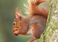树枝上可爱的小松鼠图片