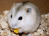 討人喜愛的小布丁倉鼠圖片