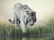 凶猛霸气的老虎照片欣赏