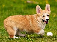 威爾士柯基犬草地玩耍圖片