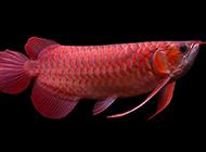 成年紅龍魚圖美極了