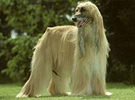 阿富汗獵犬美麗外表圖片
