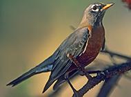 知更鳥的圖片逗人喜愛