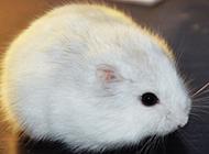 奶茶倉鼠母的圖片欣賞