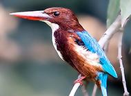 刺鳥又名荊棘鳥圖片欣賞