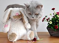 可爱调皮的蓝色英短猫图片