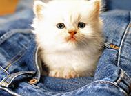 最萌茶杯猫图片惹人爱
