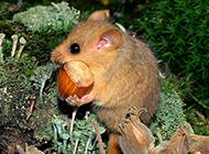 可爱贪吃的睡鼠图片