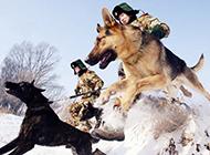 警犬雪地训练帅气图片