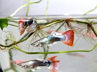 魚缸里游動的小鳳尾魚圖片