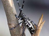 黑色昆虫小天牛微距图片