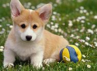 草地上趴著的秋田犬幼犬圖片