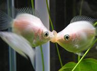 观赏价值高的两条接吻鱼图片