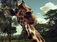 非洲草原上:長頸鹿