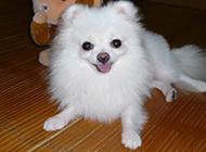日本狐貍犬小巧賣萌圖片