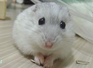 毛茸茸的奶茶倉鼠圖片