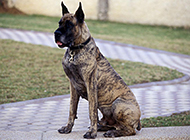 正襟危坐的虎斑大丹犬图片