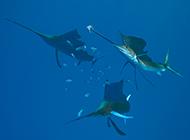 热带剑鱼海底捕食图片