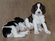 史宾格犬可爱神情图片