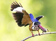 广西荆棘鸟捕食图片欣赏