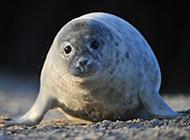 顽皮聪明的南极海豹图片