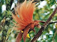 美麗的精靈王天堂鳥圖片