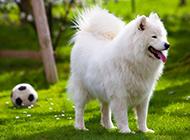 白色薩摩耶犬草地運動寫真圖片