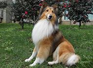 喜乐蒂牧羊犬优雅坐姿图片