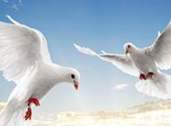 两只信鸽空中飞翔高清图片