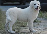 温和友善的大白熊犬幼犬图片