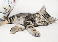 懒洋洋的虎斑猫图片大全