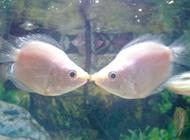 两条接吻鱼幸福浪漫图片