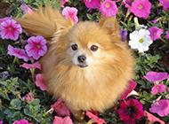 可愛狐貍犬春天公園抓拍圖片