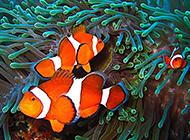 大洋海底遨游的小丑魚圖片欣賞