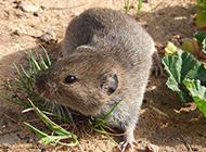 人工养殖田鼠图片欣赏