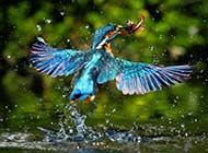 颜色鲜艳的翠鸟高清晰组图