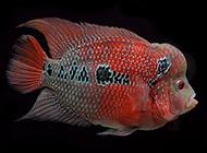 极品罗汉鱼颜色耀眼图片